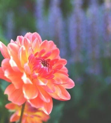 multicolor pink orange yellow flower
